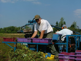 A mechanical harvester collects and winnows berries