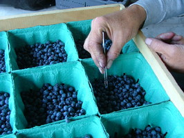 Picking out blueberries from cartons with tweezers