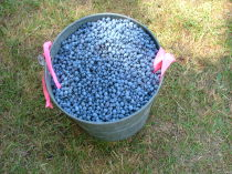pail of blueberries